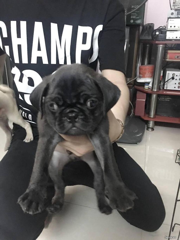 Chuyên bán và nhận oder các giống chó husky,alaska,samoyed..update thường xuyên !!! - 19
