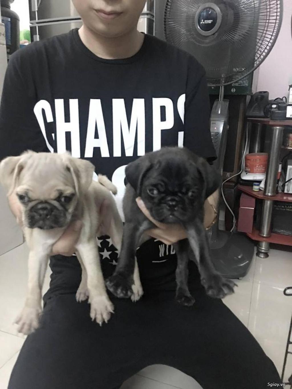 Chuyên bán và nhận oder các giống chó husky,alaska,samoyed..update thường xuyên !!! - 27