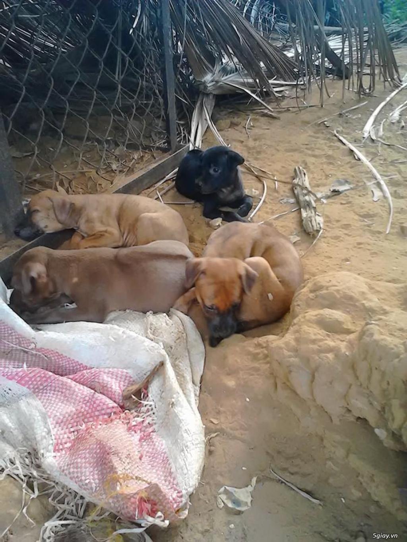 Bán chó Phú quốc vện, vàng, đen... từ Đảo cập nhật liên tục