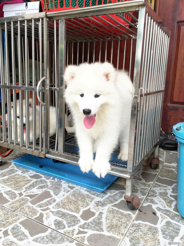 Chuyên bán và nhận oder các giống chó husky,alaska,samoyed..update thường xuyên !!! - 16
