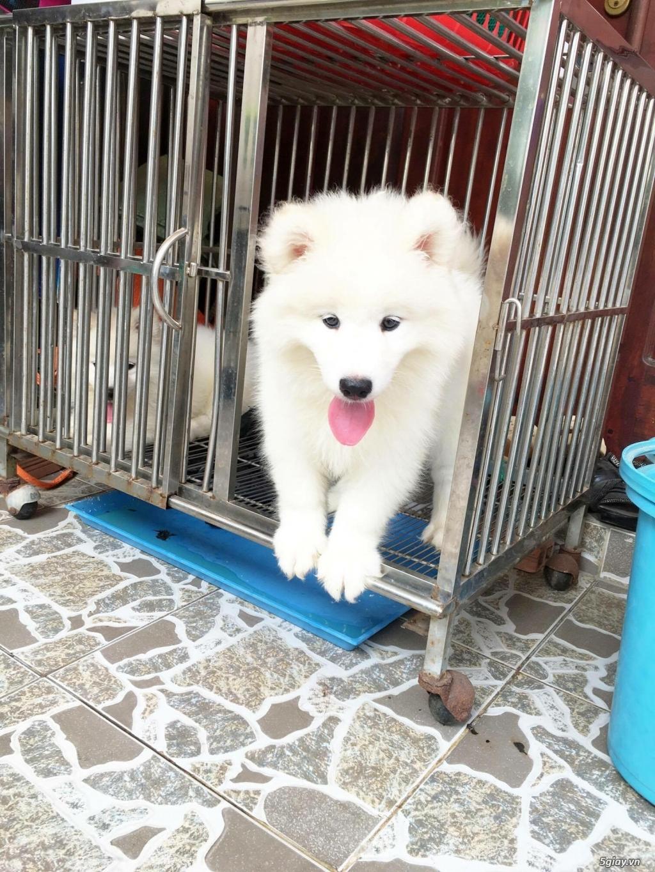 Chuyên bán và nhận oder các giống chó husky,alaska,samoyed..update thường xuyên !!! - 17