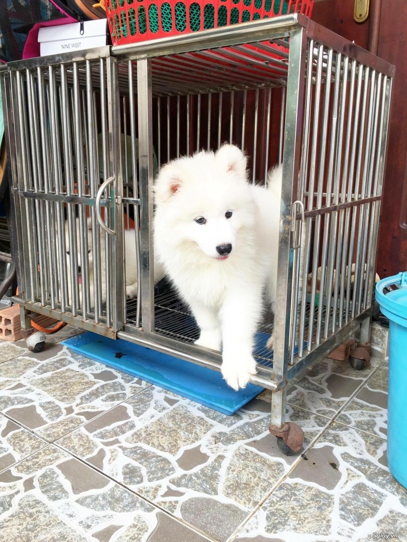 Chuyên bán và nhận oder các giống chó husky,alaska,samoyed..update thường xuyên !!! - 25