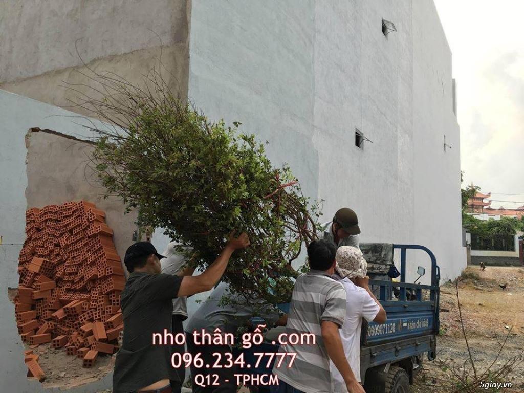 Mua bán sỉ và lẻ Nho Thân Gỗ cây giống TPHCM - 1