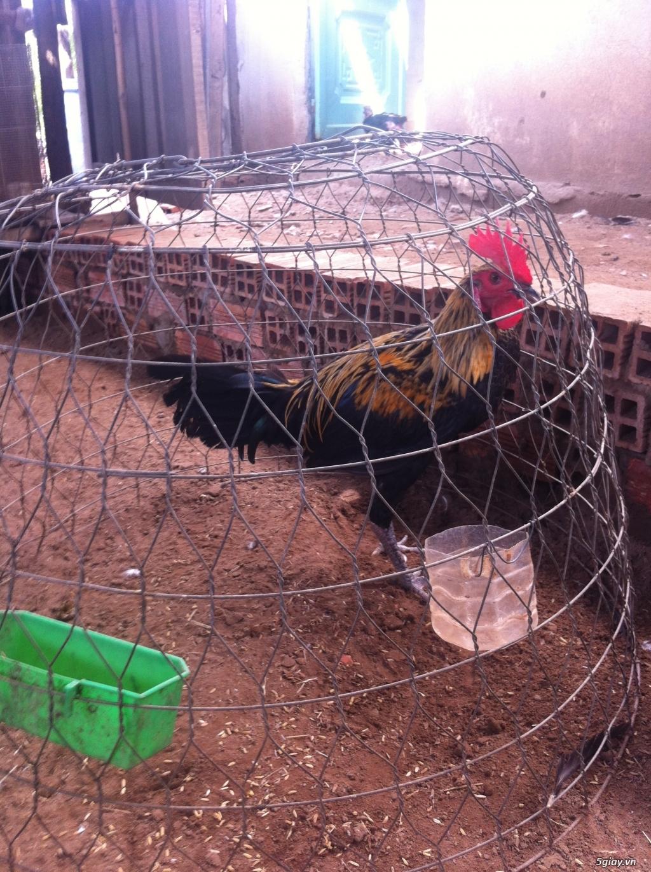 bán gà peru rặc - 4