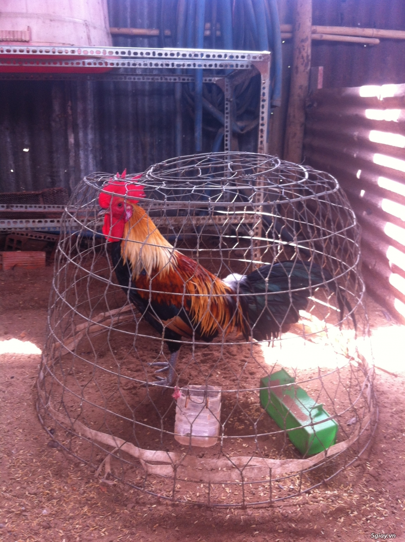 bán gà peru rặc - 2