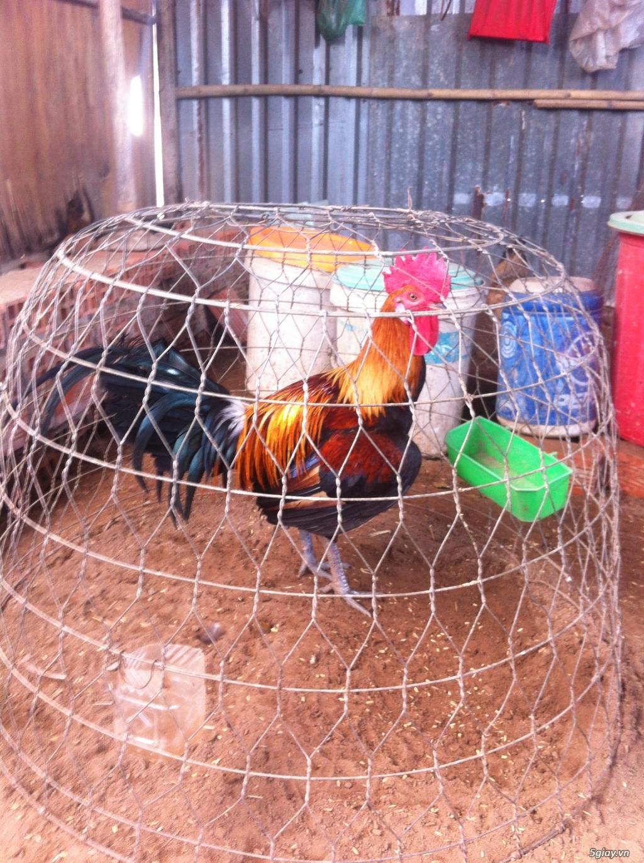 bán gà peru rặc