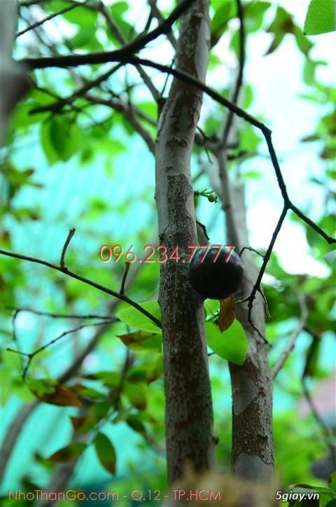 Mua bán cây Nho Thân Gỗ TPHCM