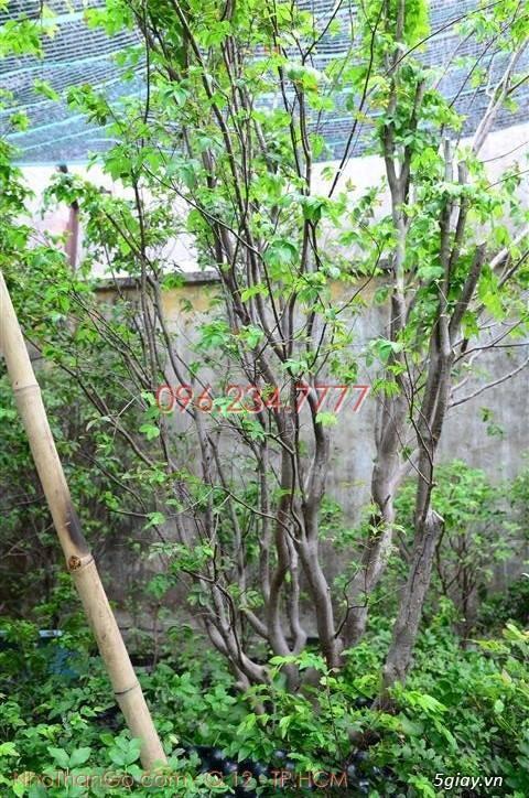 Mua bán cây Nho Thân Gỗ TPHCM - 1