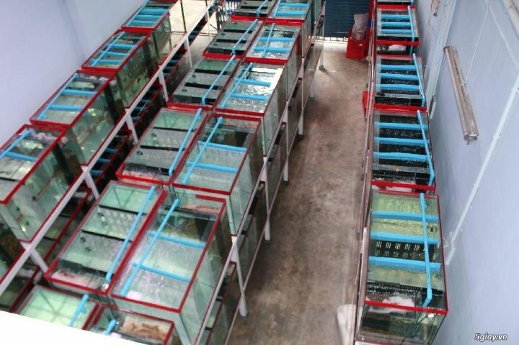 Cá La Hán: Thái Đỏ,King KamFa, King Việt, King Lai, Kim Cương, RedTexas - 20