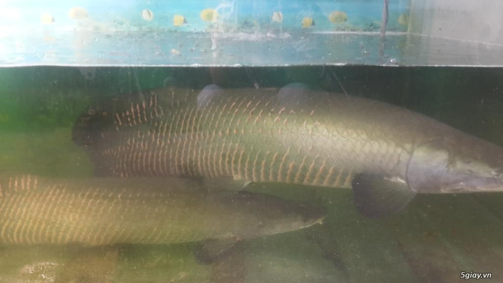 Cần bán cặp cá Hải Tượng - 1