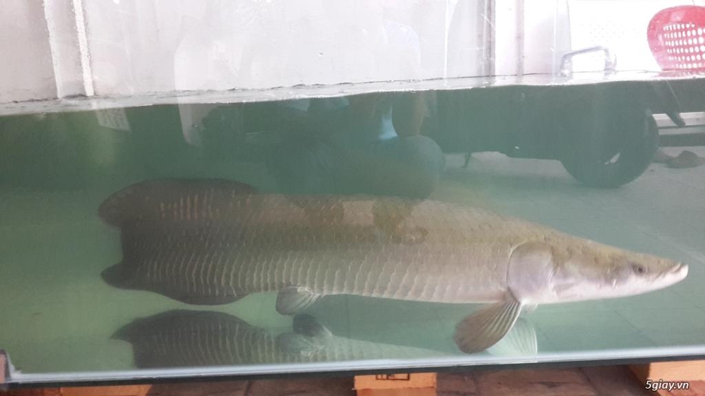 Cần bán cặp cá Hải Tượng - 3