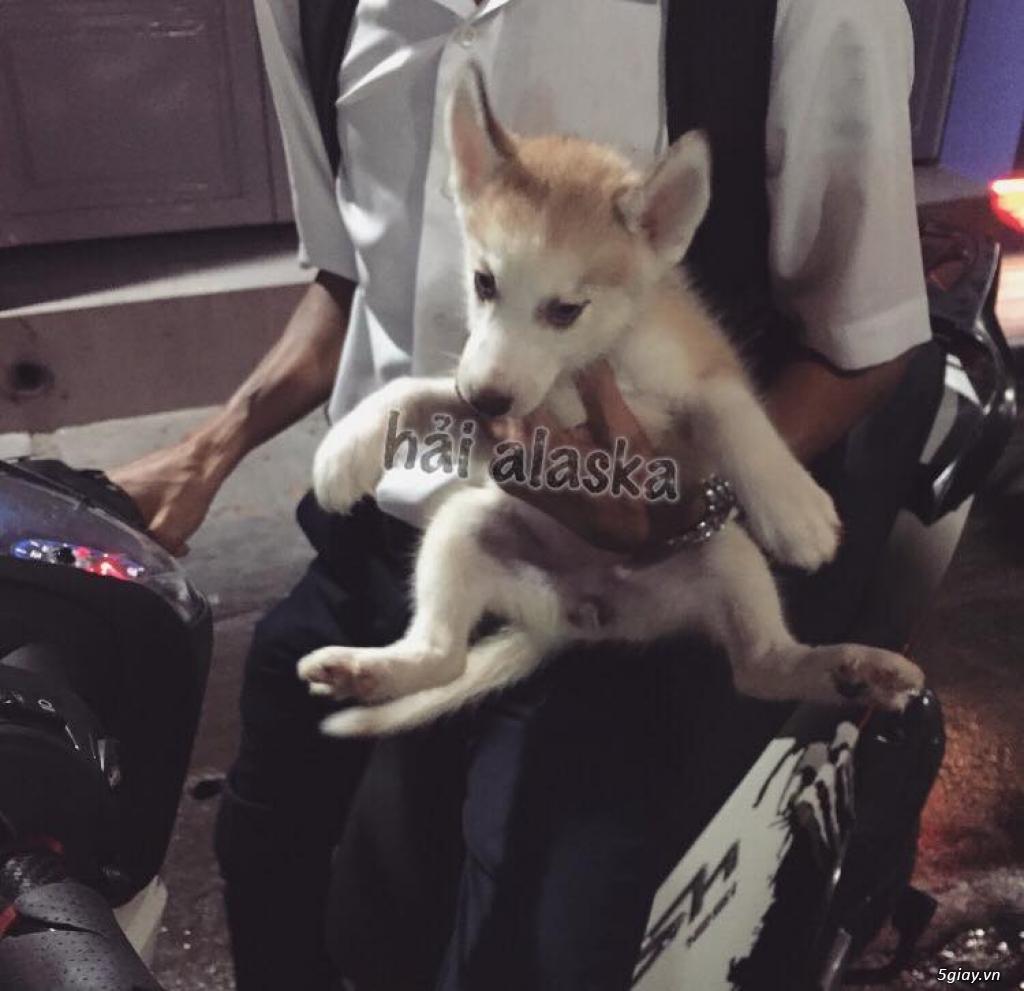 Chuyên bán và nhận oder các giống chó husky,alaska,samoyed..update thường xuyên !!! - 13