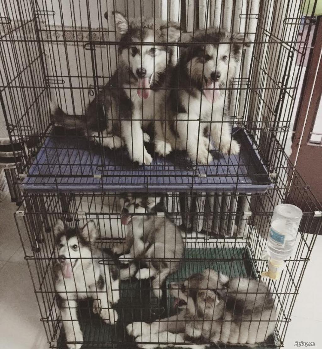 Chuyên bán và nhận oder các giống chó husky,alaska,samoyed..update thường xuyên !!! - 4