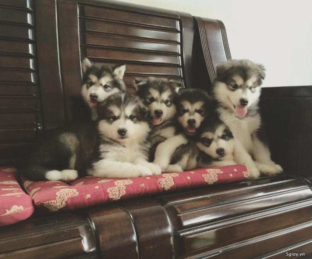 Chuyên bán và nhận oder các giống chó husky,alaska,samoyed..update thường xuyên !!! - 10