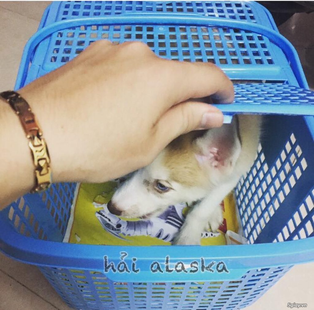 Chuyên bán và nhận oder các giống chó husky,alaska,samoyed..update thường xuyên !!! - 12