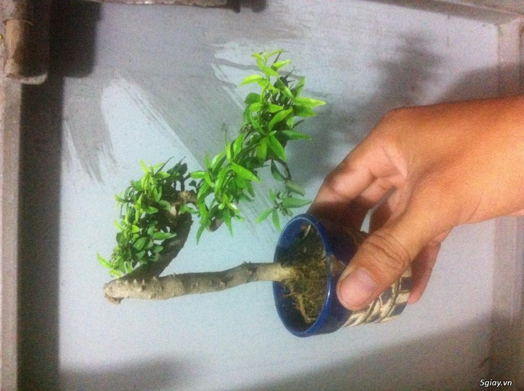 cây bonsai và vài món đồ chơi cho bonsai - 1