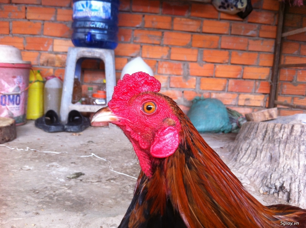 Vĩnh long gà nòi gà tre có clip xổ - 3