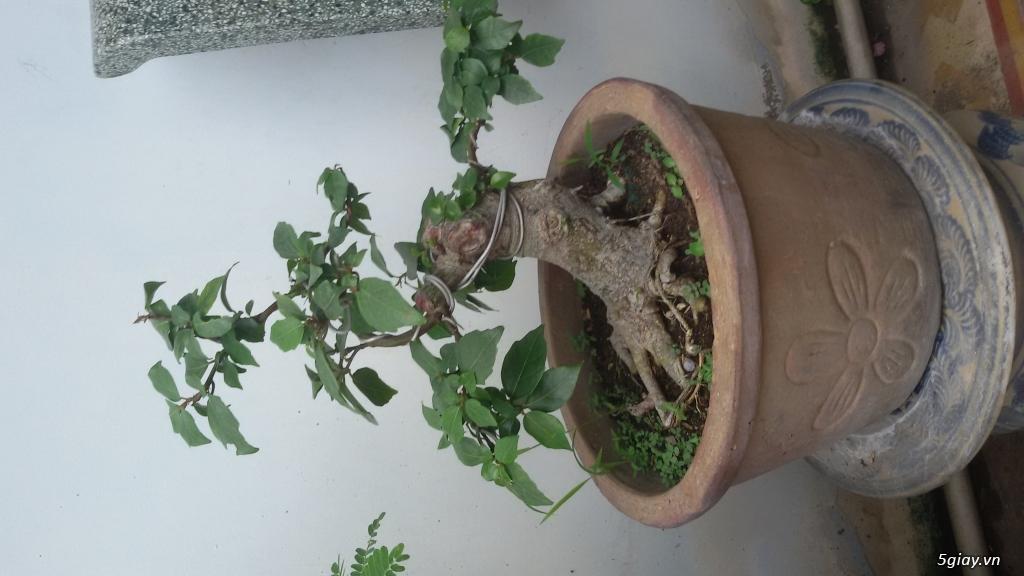 TP Hồ Chí Minh - Cần bán một vài cây bonsai.... - 1