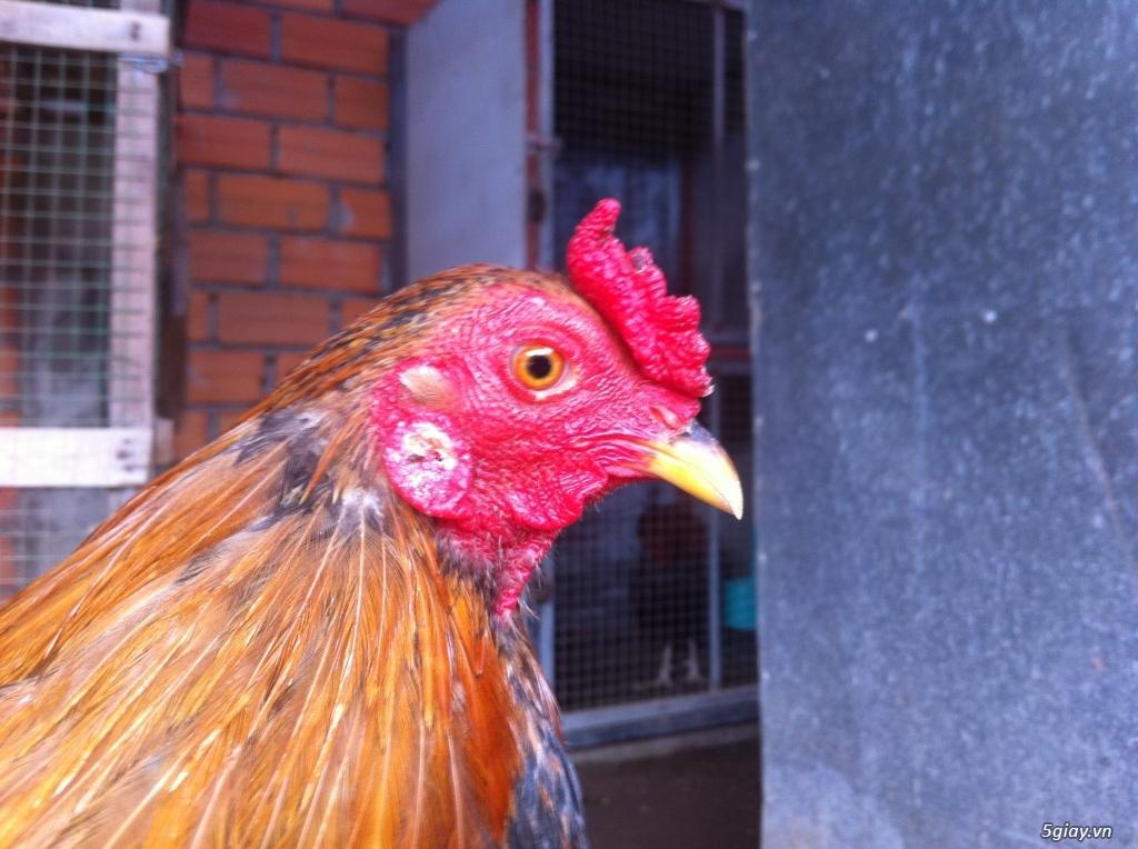 Vĩnh long gà nòi gà tre có clip xổ - 19