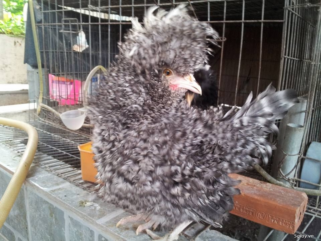 Trại gà kiểng gồm các giống gà ngoại nhập: Serama,Rosecomo,Ba Lan Sư Tử,Phoenix,Sikie,Vảy cá,gà Thái - 4