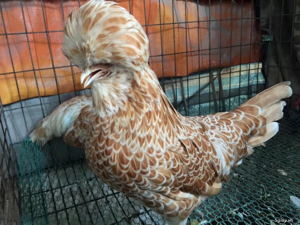 Trại gà kiểng gồm các giống gà ngoại nhập: Serama,Rosecomo,Ba Lan Sư Tử,Phoenix,Sikie,Vảy cá,gà Thái - 18