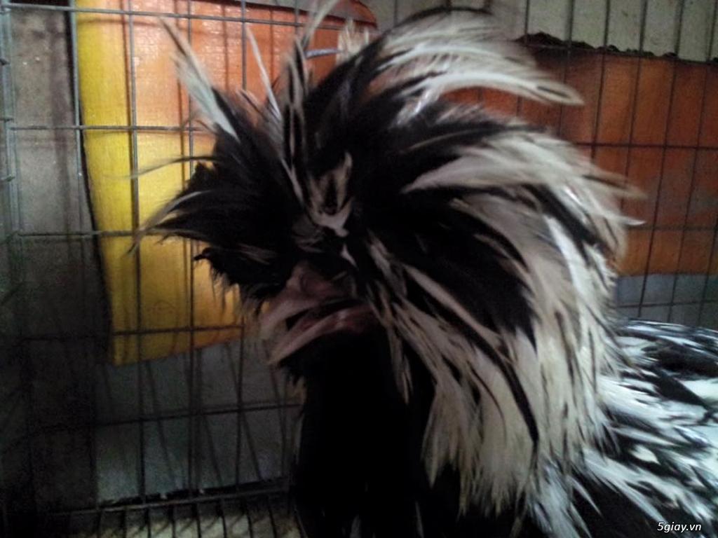 Trại gà kiểng gồm các giống gà ngoại nhập: Serama,Rosecomo,Ba Lan Sư Tử,Phoenix,Sikie,Vảy cá,gà Thái - 9