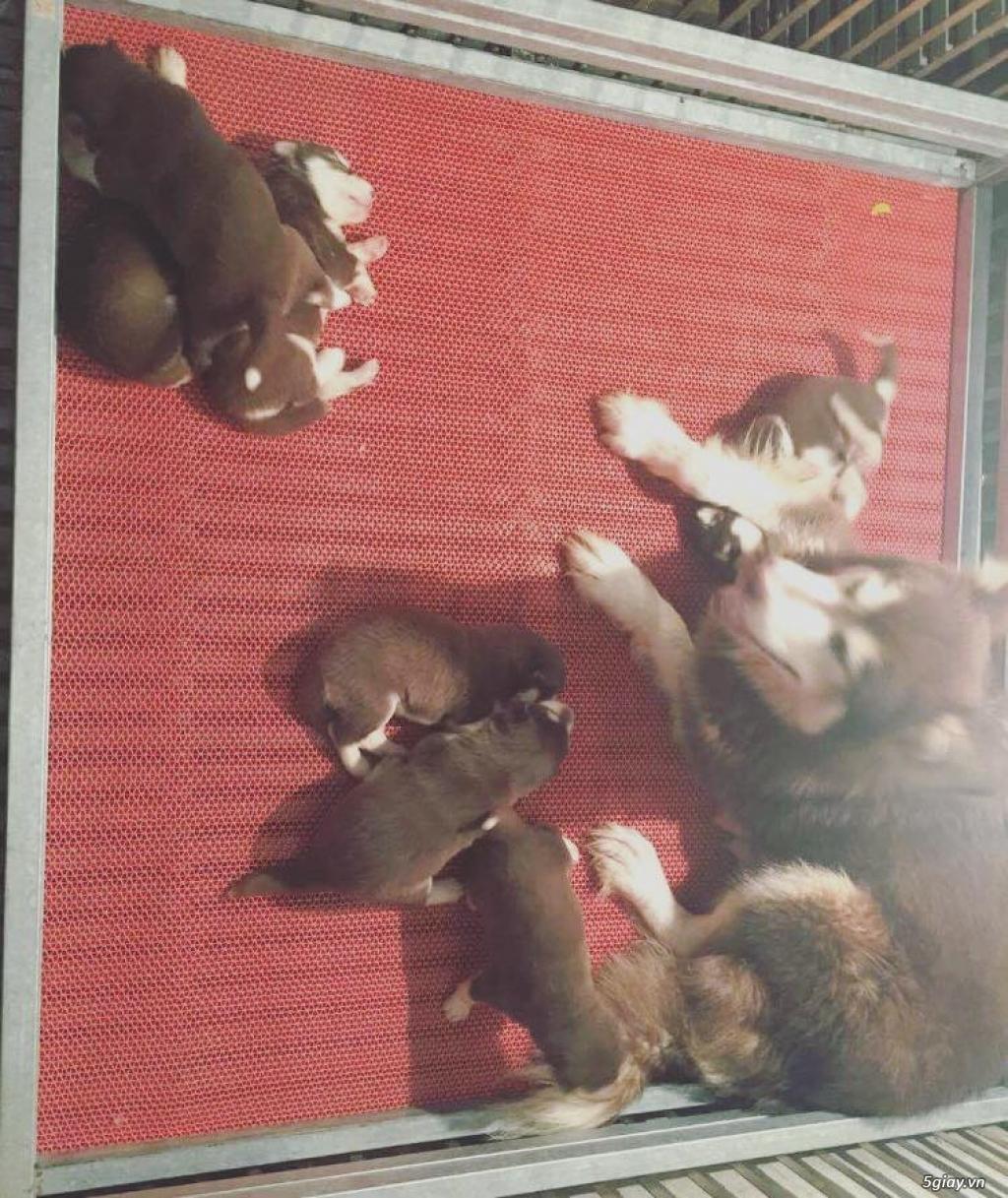 Chuyên bán và nhận oder các giống chó husky,alaska,samoyed..update thường xuyên !!! - 2