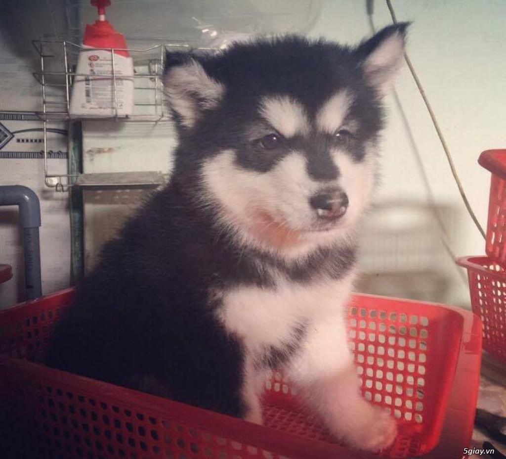 Chuyên bán và nhận oder các giống chó husky,alaska,samoyed..update thường xuyên !!! - 1