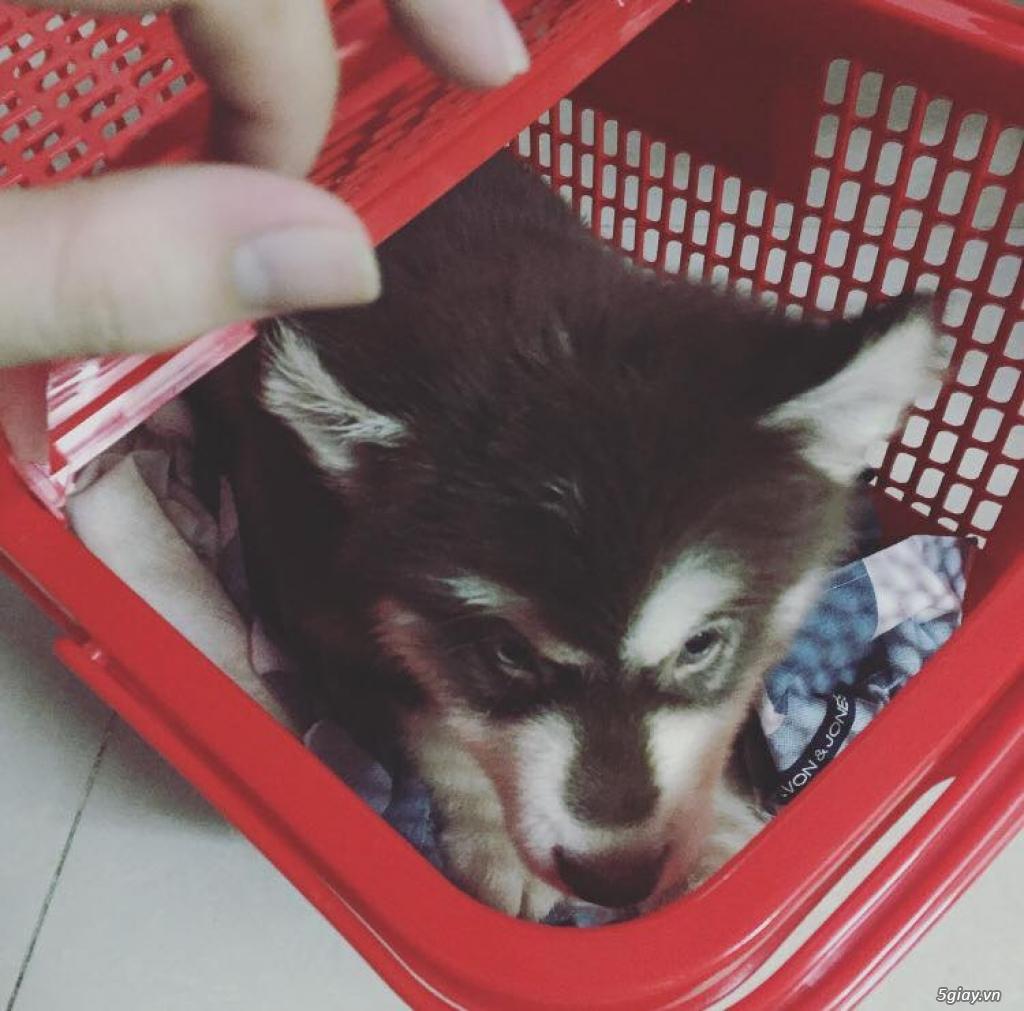 Chuyên bán và nhận oder các giống chó husky,alaska,samoyed..update thường xuyên !!! - 5