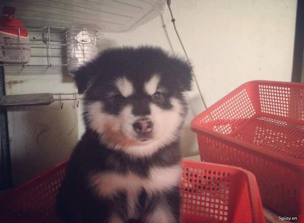 Chuyên bán và nhận oder các giống chó husky,alaska,samoyed..update thường xuyên !!!