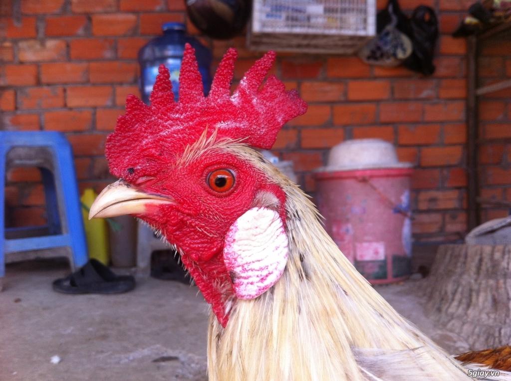 Vĩnh long gà nòi gà tre có clip xổ - 23