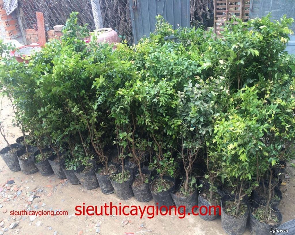 Cây nho thân gỗ mua bán cây nhỏ thân gỗ tphcm,ha nội - 1