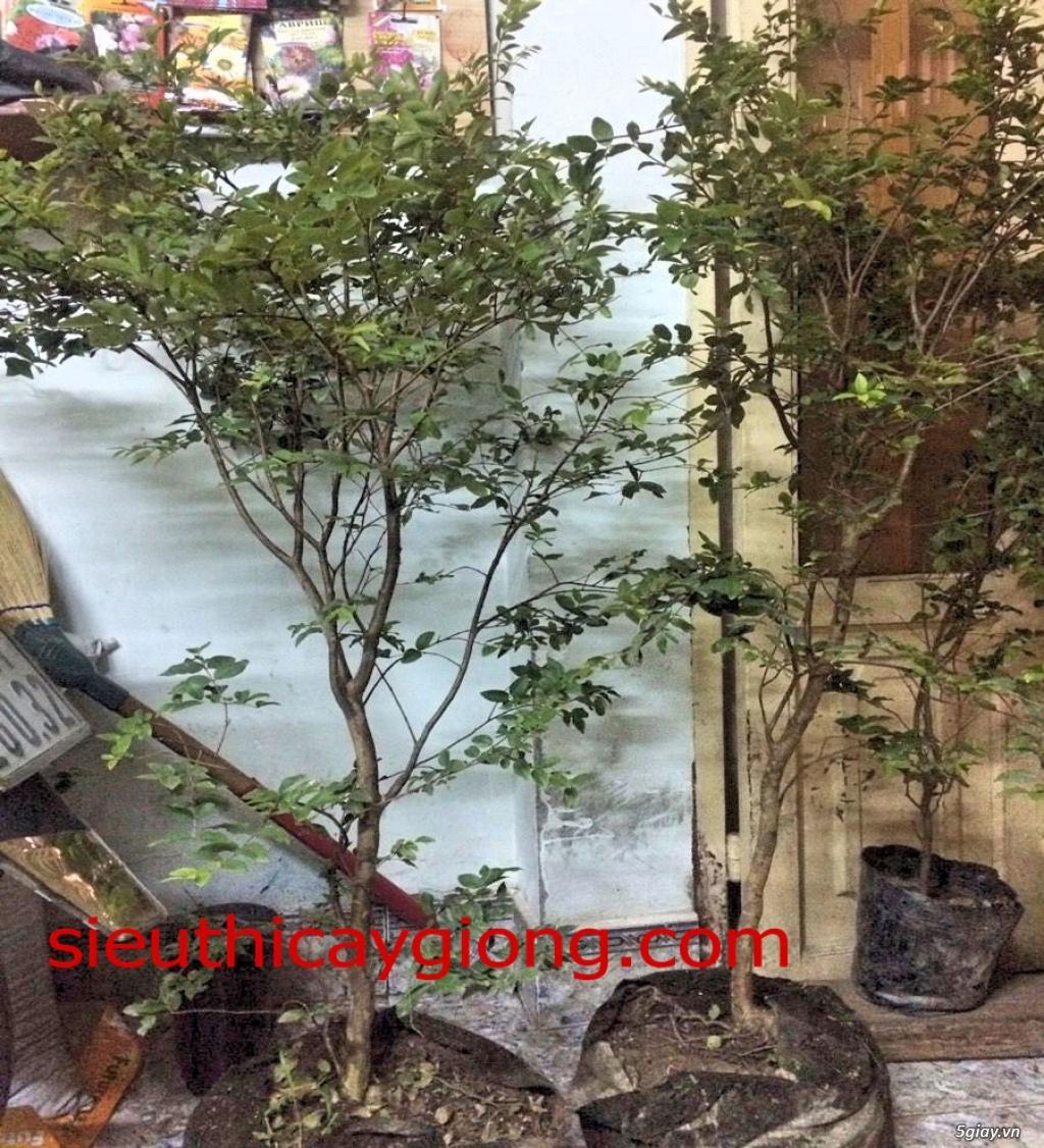 Cây nho thân gỗ mua bán cây nhỏ thân gỗ tphcm,ha nội