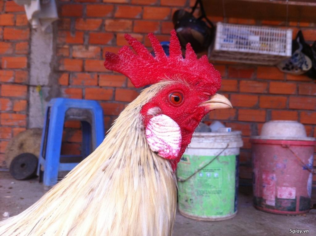 Vĩnh long gà nòi gà tre có clip xổ - 22