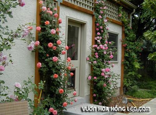 Giới thiệu vườn hoa hồng leo - 8