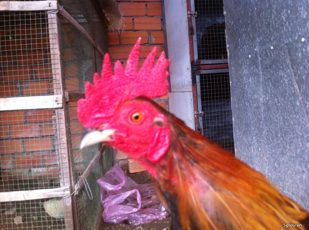 Vĩnh long gà nòi gà tre có clip xổ - 11