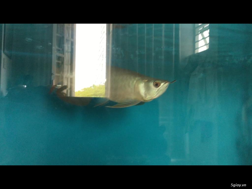 Bán cá rồng super highback & cá hổ tặng hồ và chân sắt - 1
