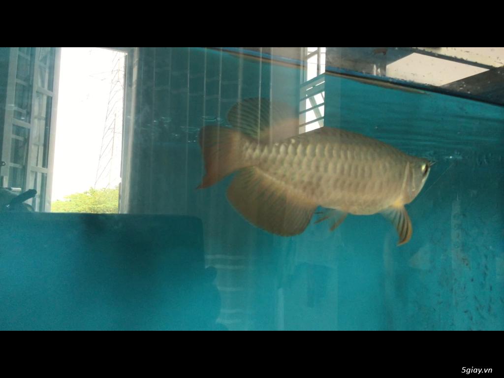 Bán cá rồng super highback & cá hổ tặng hồ và chân sắt - 4