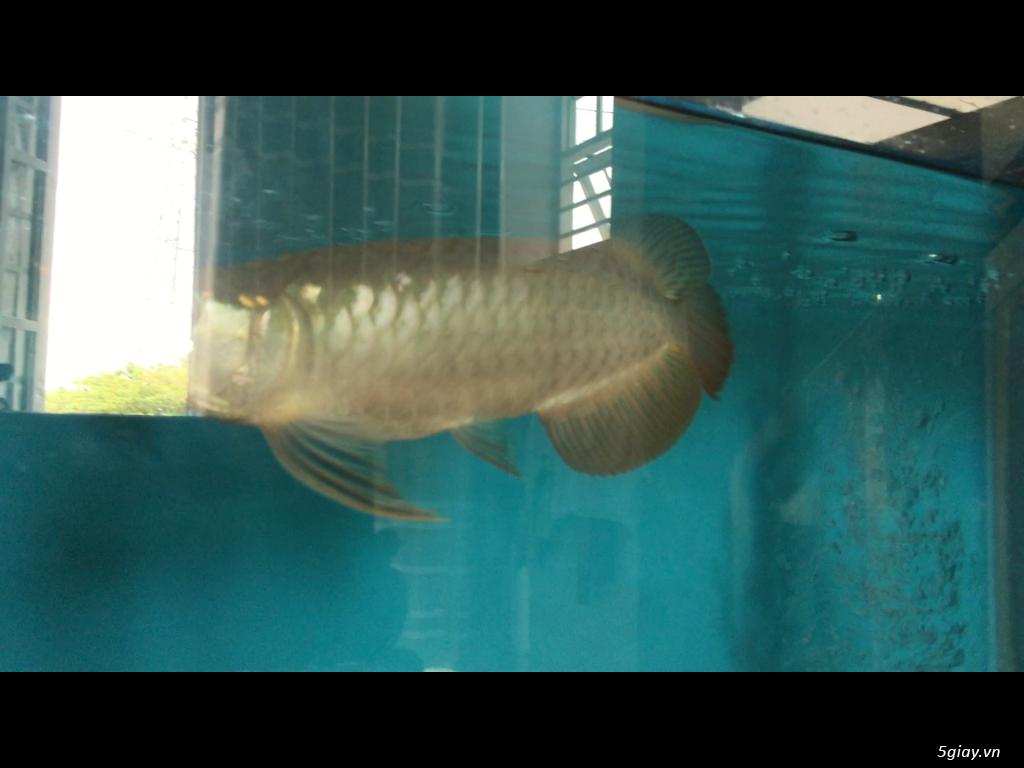 Bán cá rồng super highback & cá hổ tặng hồ và chân sắt - 3