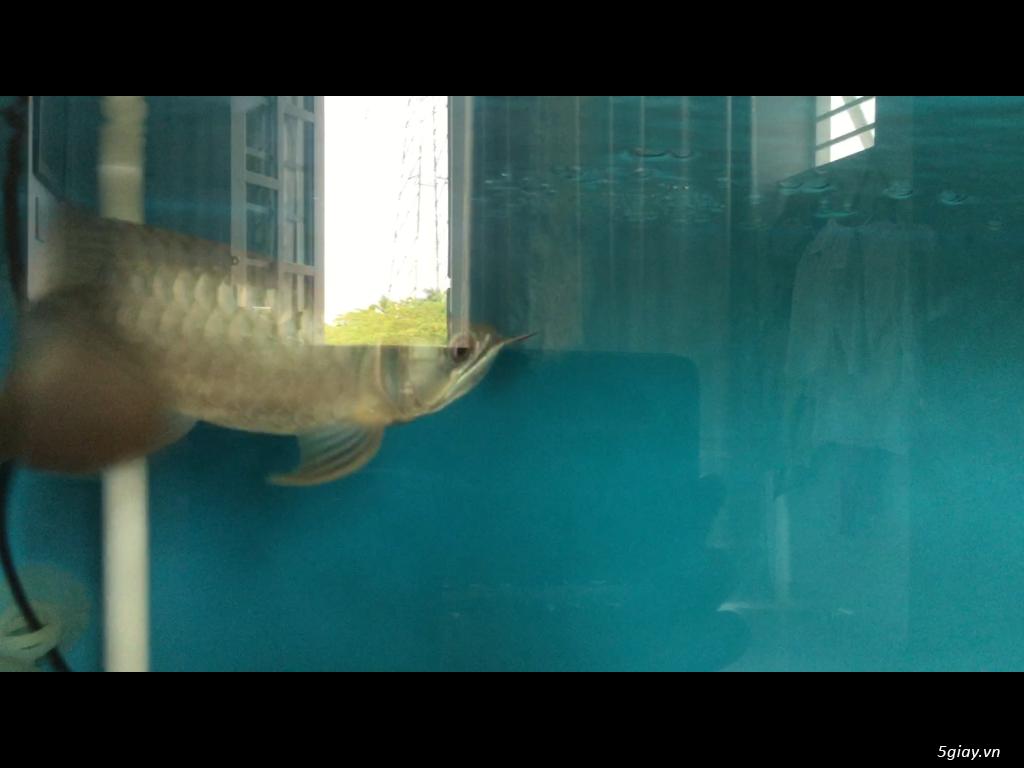 Bán cá rồng super highback & cá hổ tặng hồ và chân sắt