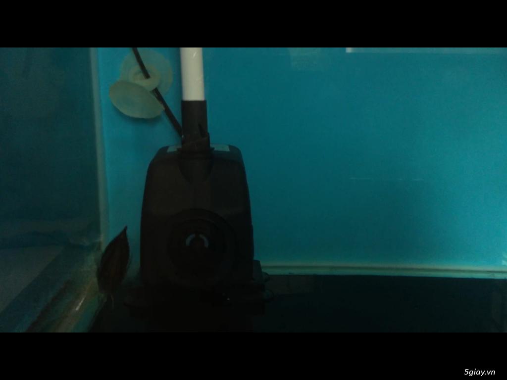 Bán cá rồng super highback & cá hổ tặng hồ và chân sắt - 2