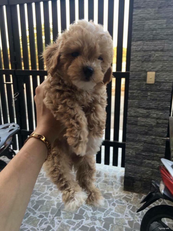 Chuyên bán và nhận oder các giống chó husky,alaska,samoyed..update thường xuyên !!! - 6