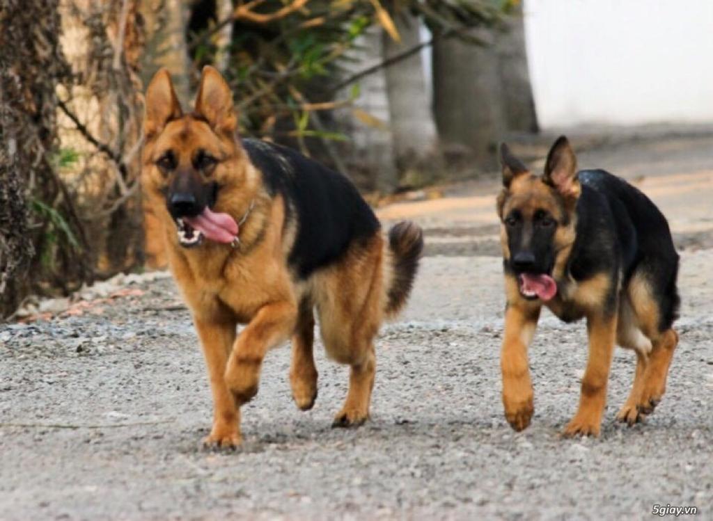 Chó Becgie Đức Thuần Chủng -  Tại Đồng Tháp - 9