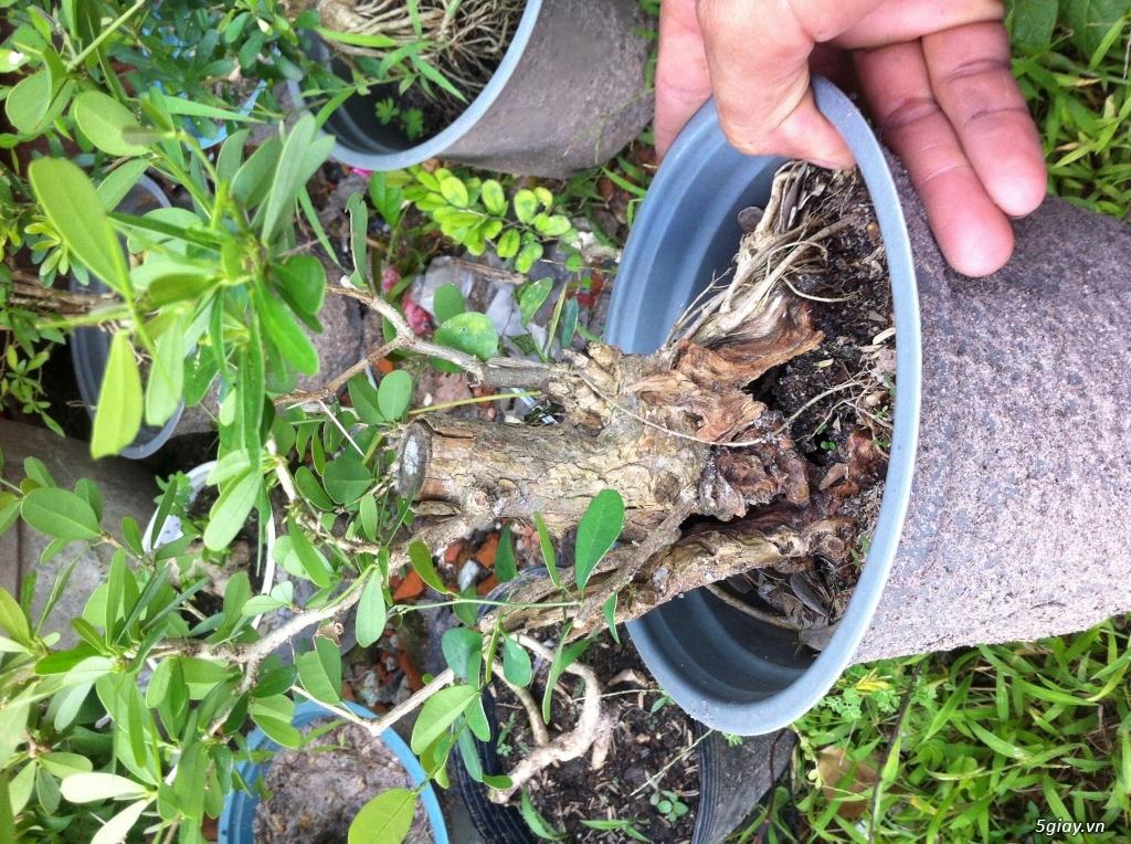 Cây giống và bonsai giao lưu khu vực Sài Gòn - 5