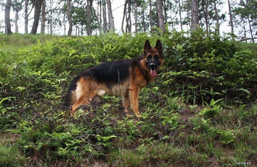 Chó Becgie Đức Thuần Chủng -  Tại Đồng Tháp - 4