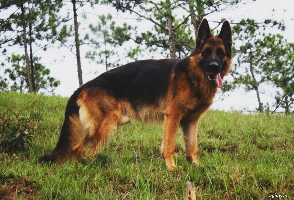 Chó Becgie Đức Thuần Chủng -  Tại Đồng Tháp - 10