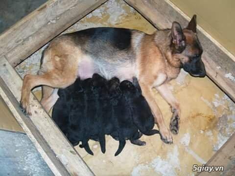 Chó Becgie Đức Thuần Chủng -  Tại Đồng Tháp - 6