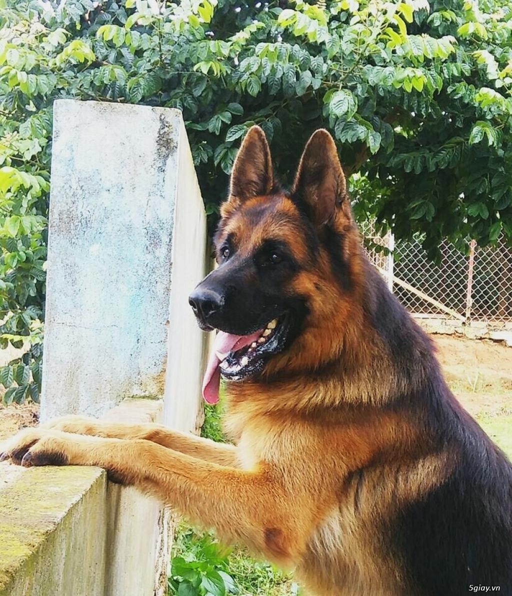 Chó Becgie Đức Thuần Chủng -  Tại Đồng Tháp - 5