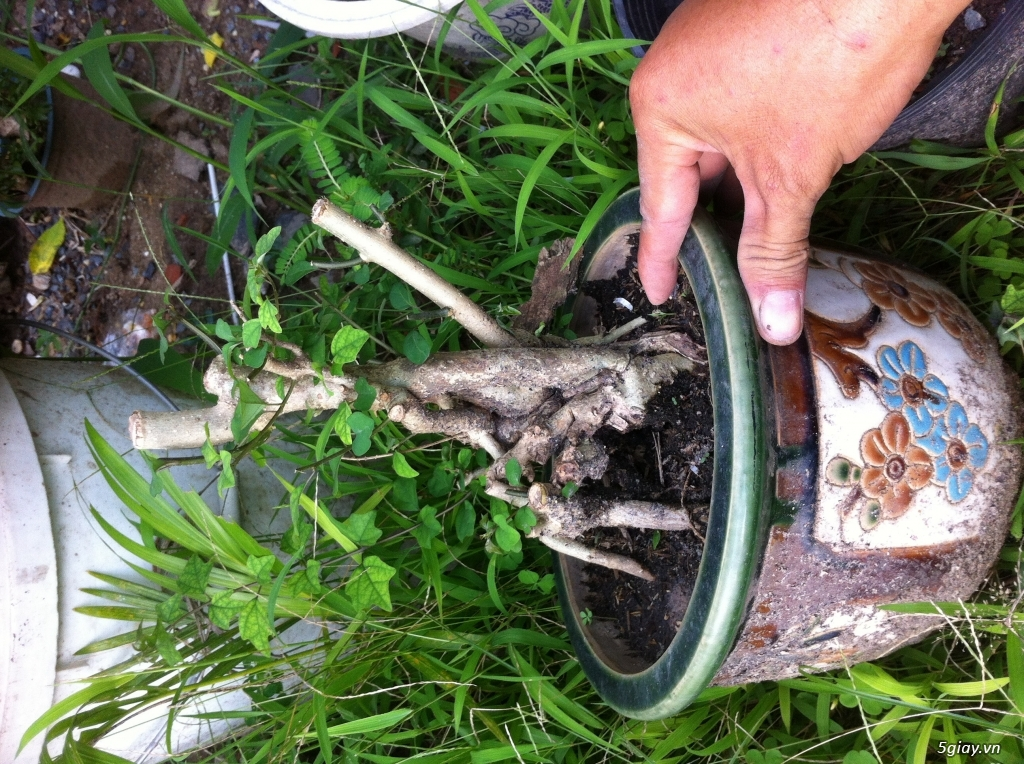 Cây giống và bonsai giao lưu khu vực Sài Gòn - 7