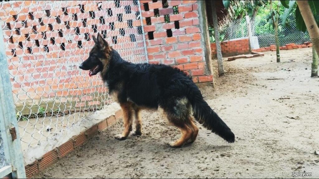 Chó Becgie Đức Thuần Chủng -  Tại Đồng Tháp - 17